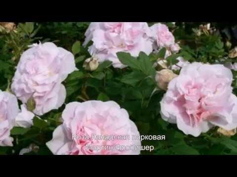 Роза Амбер Виэл саженец почвопокровной розы
