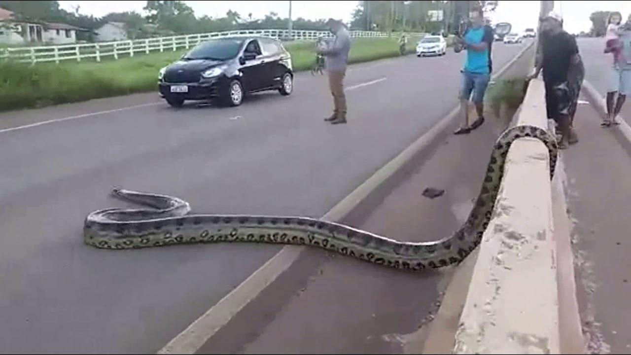 Traffic halts as Giant Anaconda Crosses Road in Brazil; Video Goes Viral || GoViral