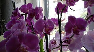 Полив орхидей с чесноком и янтарином