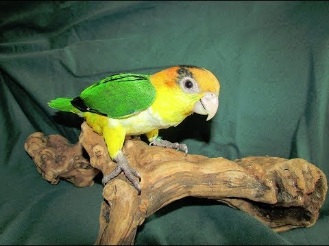 White Bellied Caique Sisters Age Progression 1wk to 10 wks