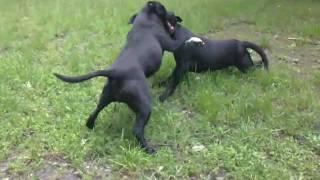 Staffordshire Bull Terrier Game