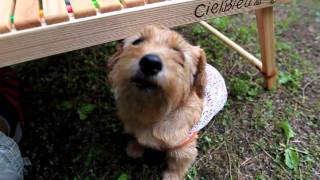 2011年夏 軽井沢の蝉しぐれ カメラを怪しむノーフォークテリア、マ...