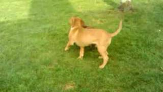 Dogue De Bordeaux And English Bulldog