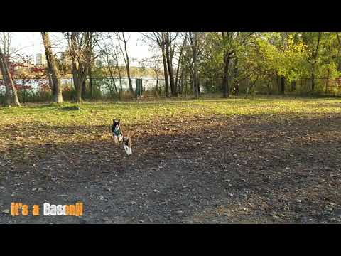 Basenjis hanging out at the dog park compilation !
