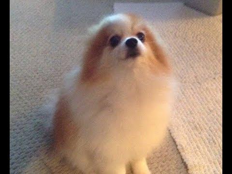 Pomeranian Dog - Puppy