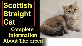 Scottish Straight Cat. Pros and Cons, Price, How to choose, Facts, Care, History