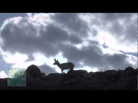 Natural Gas Development Linked to Pronghorn Habitat Loss