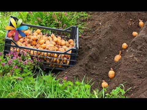 Как увеличить урожай картошки из 1 кг до 10!? – Все буде добре. Выпуск 796 от 21.04.16