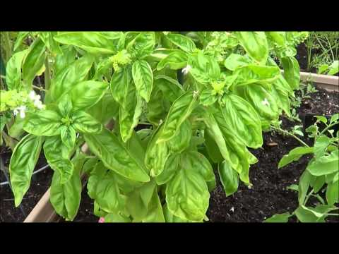 How to prune basil. Harvesting basil (thinning, pruning)