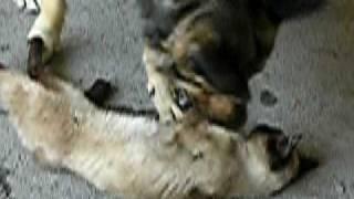 Собака вылизывает кошку