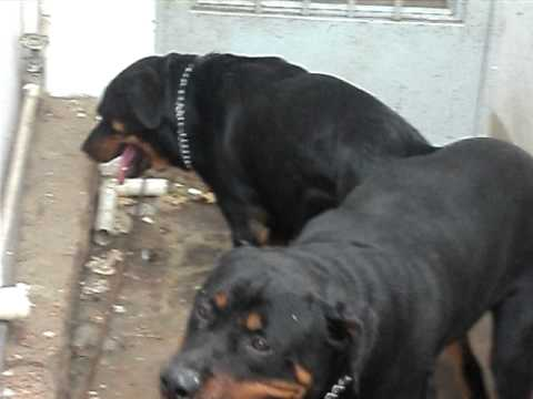 Rottweiler Cruzando - Igor E Duda   # 24/12/2011