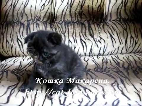 Макарена, кошка, скоттиш-фолд, чёрный черепаховый окрас.