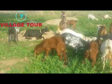 Goat farming in Pakistan|Goat farming in Punjab|Village Goat farming