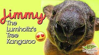 Rainforestation || Jimmy The Lumholtz's Tree Kangaroo