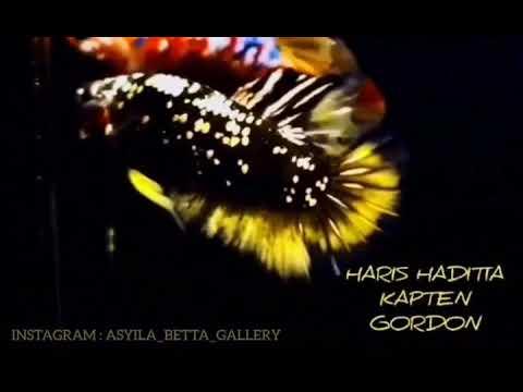 Cupangviral Cupangavatargordon Asyila Betta Gallery Cupang Avatar Gordon Gold Viral 2020 Youtube