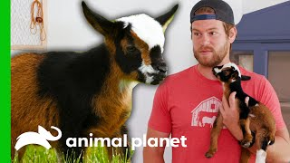 Dan Breaks Protocol To Save An Injured Baby Goat | Saved By The barn