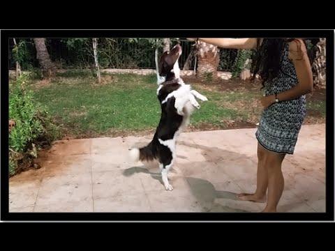 Brandy the circus dog