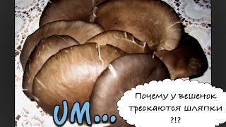 У грибов трескаются шляпки(наш сайт: http://sgrib.ru (cultivation and sale of oyster mushrooms) В чем причина, когда у грибов трескаются шляпки? #грибы #шляпки..., 2015-12-12T11:23:30.000Z)