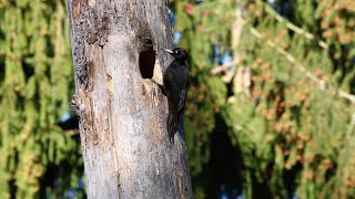 Black Woodpecker, Biebrza National Park, Poland, May 2014