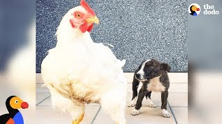 Abandoned Puppy Grows Up With 150 Rescued Animal Friends | The Dodo Odd Couples thumbnail