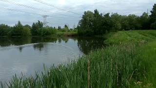 Бобры в Москва-реке в Братеево
