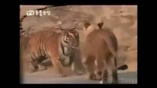ライオンと虎、どっちが強いの?って男子なら一度は思ったことあるので...