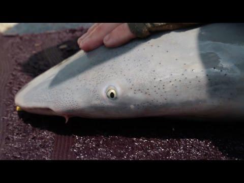 River Shark surveys in the West Alligator River