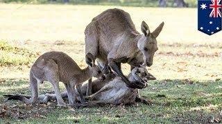 Убитый горем кенгуру попытался совокупиться с мёртвой подругой