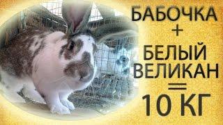 Кролик великан - 10 кг.: помесь белого великана и кролика бабочки.(Гигантский кролик весит 10 кг. Получился в ходе скрещивания породы бабочка и белый великан., 2015-09-07T17:12:30.000Z)