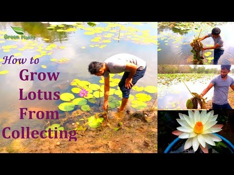 How to Grow Lotus | Grow Lotus From Wild Collection | Lotus Hunting,Lotus Growing Tips//GREEN PLANTS