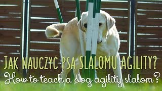Jak Nauczyć Psa Slalomu Agility? | How To Teach A Dog Agility Slalom?