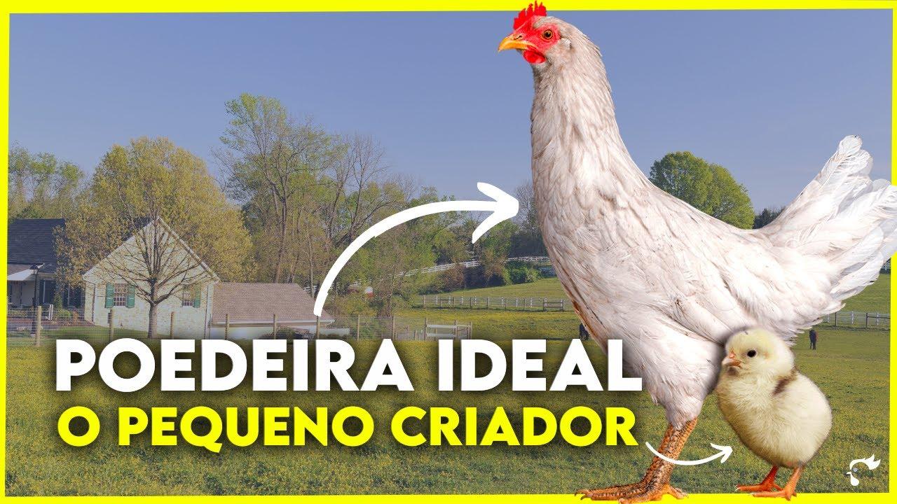 🔵 Quer começar CRIAÇÃO DE GALINHA CAIPIRA? Conheça a POEDEIRA de ovos AZUIS (Azur)