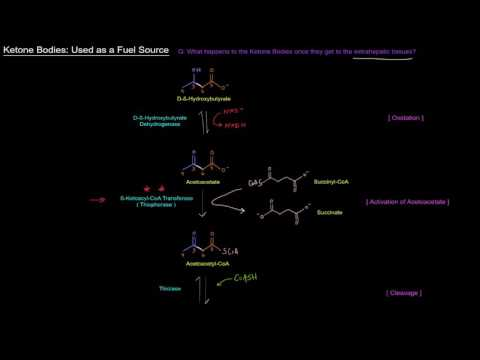 Ketone Bodies (Part 3 of 4) - Used as a Fuel Source (Oxidation of Ketone Bodies)