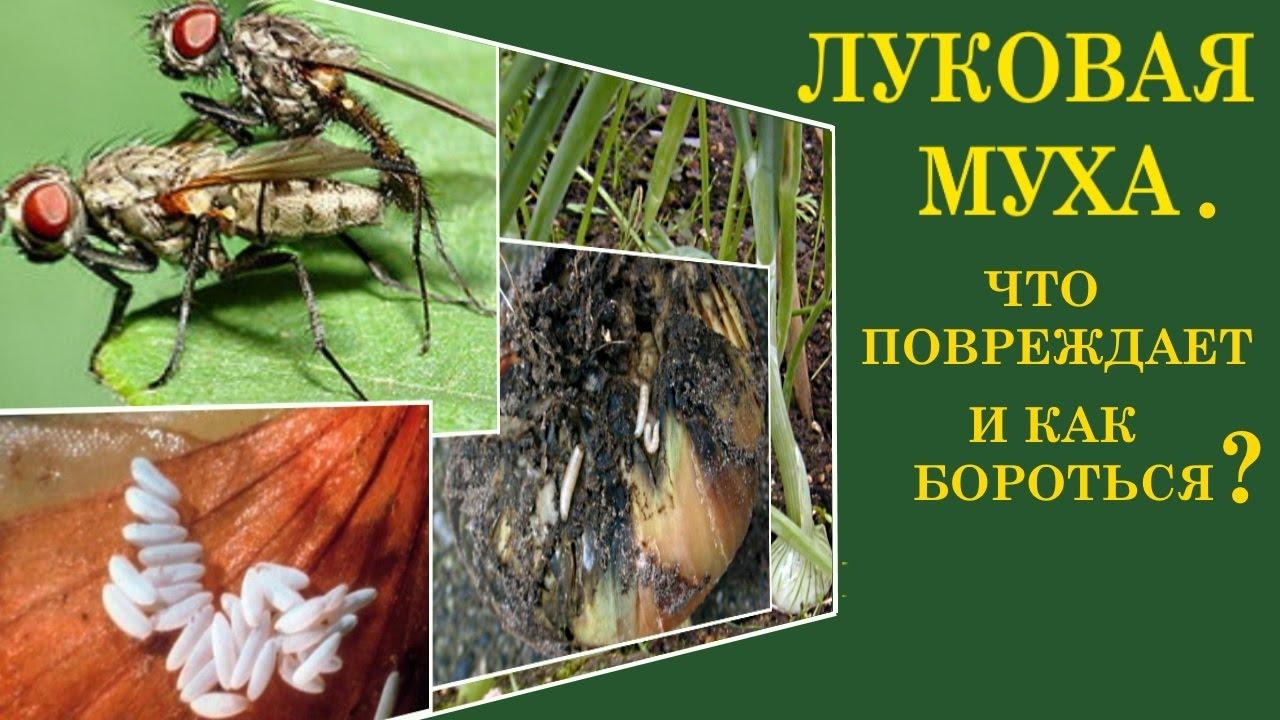 Как можно избавиться от луковой мухи на огороде
