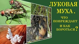 видео Луковая муха: как с ней бороться