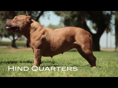 UNDERSTANDING THE AMERICAN BULLY BREED STANDARD (RE-UP)