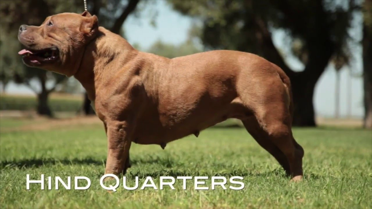 Understanding The American Bully Breed Standard Re Up