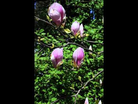 Tulip Magnolias (Magnolia Soulangiana) - Free Photos And Art