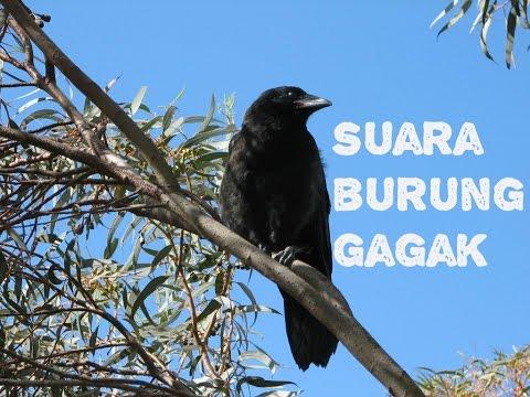 Suara Burung Gagak [Burung Yang Menakutkan]