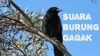 Download Suara Burung Gagak [Burung Yang Menakutkan]