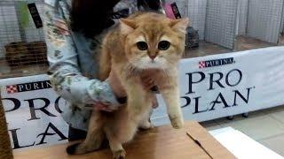 Очень КРАСИВАЯ Британская Кошечка ЗОЛОТОЙ Окрас | ПОРОДЫ КОШЕК