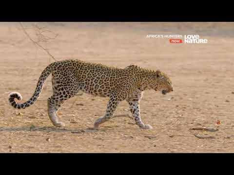 Африканские охотники / Africa's Hunters : Последнее противостояние леопарда 2 серия 4K