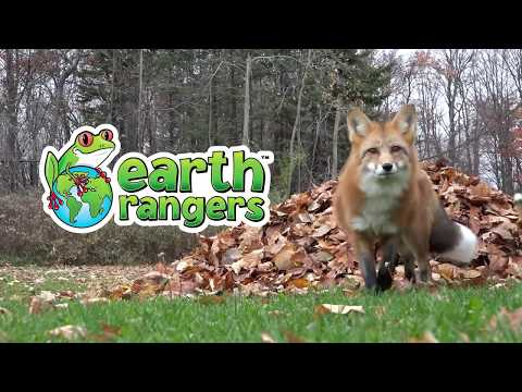 Forrest the Red Fox Playing in the Leaves