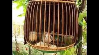 Cu hay của Thái Lan.