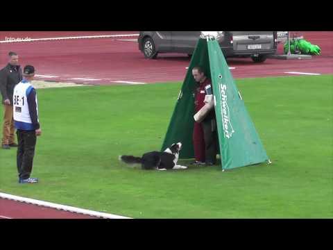 Border Collie bei FCI-WM