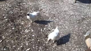 烏骨鶏のジュニパーとジョージ二世の喧嘩です。 クルミ冠の方が年上のジ...