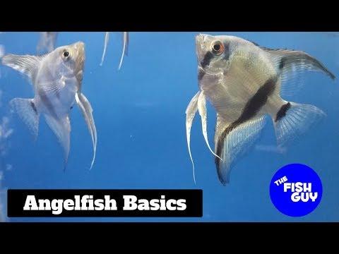 Angelfish Basics
