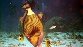 Синеперый балистоид ломает кораллы. Shark