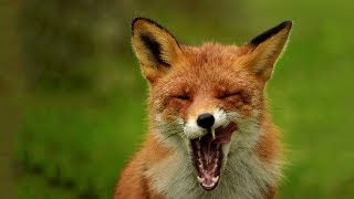 Охота на лису осенью.
