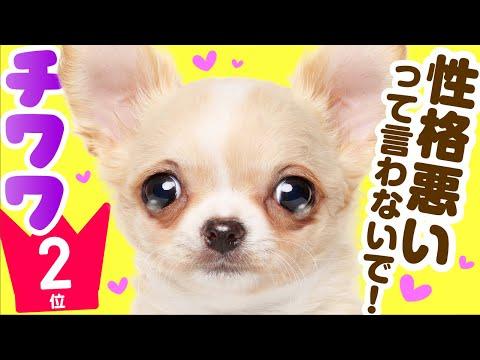 ❤人気2位【チワワってどんな犬?】子犬の価格や性格、種類、寿命、飼いやすさは? カワイイ動画でチェック!